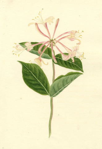 Brada Hulton, Honeysuckle Flower - Late 19th-century watercolour painting
