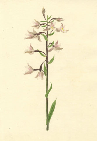Brada Hulton, Marsh Helleborine Flower - Late 19th-century watercolour painting