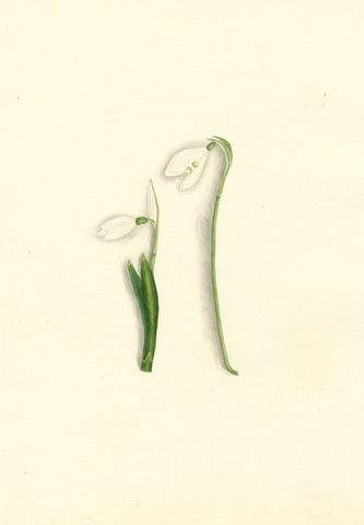 Brada Hulton, White Snowdrop Flower - Late 19th-century watercolour painting