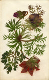 Circle of Mary Delany, Anemone Flower - Original 1840s plant collage