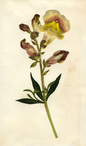 Circle of Mary Delany, Snapdragons Flower - Original 1840s plant collage