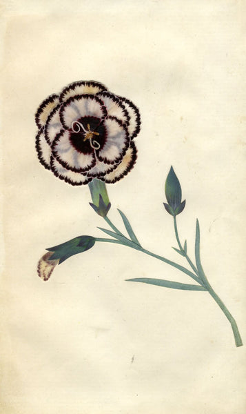 Circle of Mary Delany, Bower's Claudius Carnation Flower - 1840s plant collage