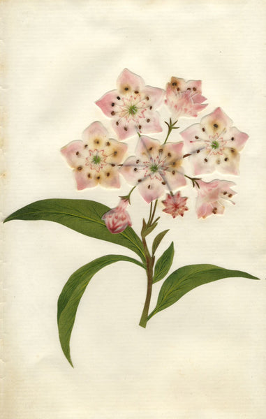Circle of Mary Delany, Mountain Laurel Flower - Original 1840s plant collage