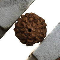 Natural 12mm Rudraksha