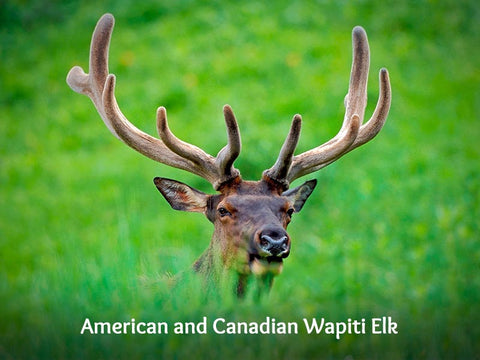 American and Canadian Wapiti Elk