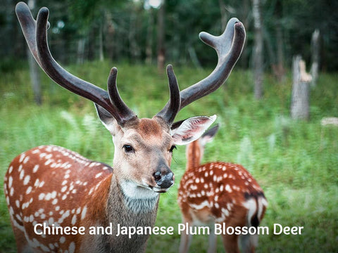 Chinese and Japanese Plum Blossom Deer