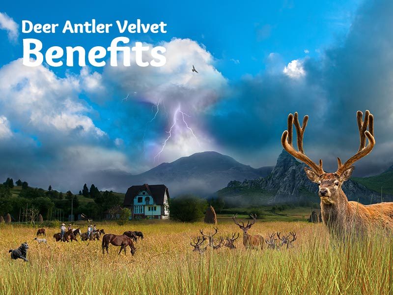 Deer Antler Velvet Benefits