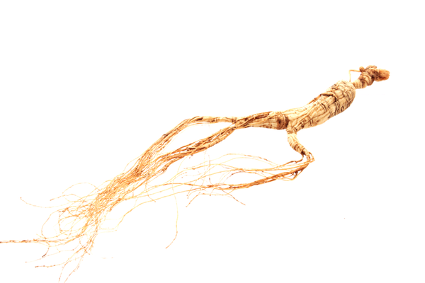 A Treasured Wild White Ginseng 15 Year Old Root Weighing Over 15 Grams
