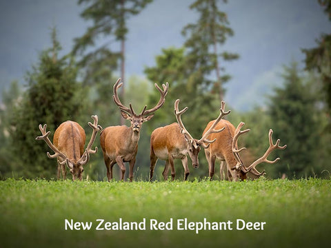 New Zealand Red Elephant Deer with Velvet Antler