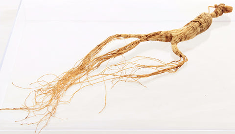 Wild Panax Red Ginseng Root