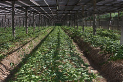 Ginseng Shade Grown Garden in Jilin Province