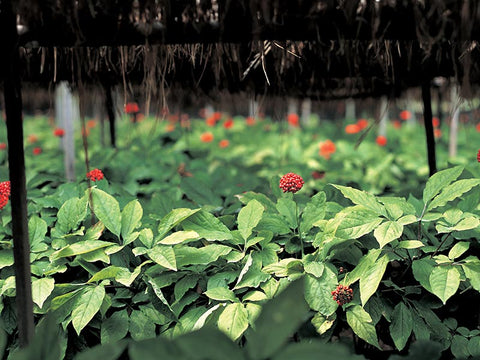 Shade Grown Ginseng Farm