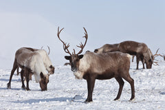 Pantocrin is Extracted from the Deer Antler of Reindeer