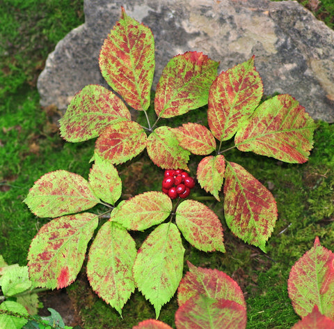 In the Autumn, Ginseng Berries Become Ripe and Ready for Pickin'
