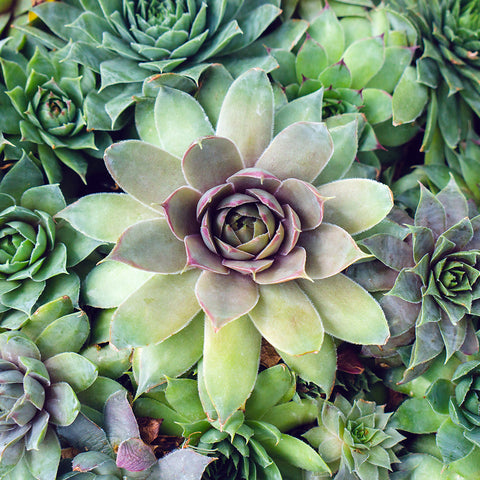 Succulent Photography, Hen and Chicks Photo