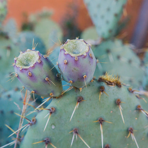 Santa Fe Prickly Pear Cactus - Southwest Desert Photo