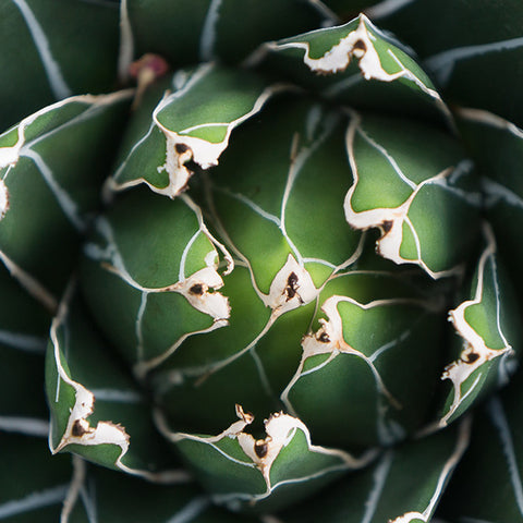 Agave Print, Queen Victoria Agave - april bern photography