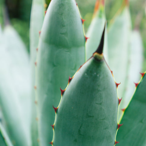 Agave Photograph Botanical Art