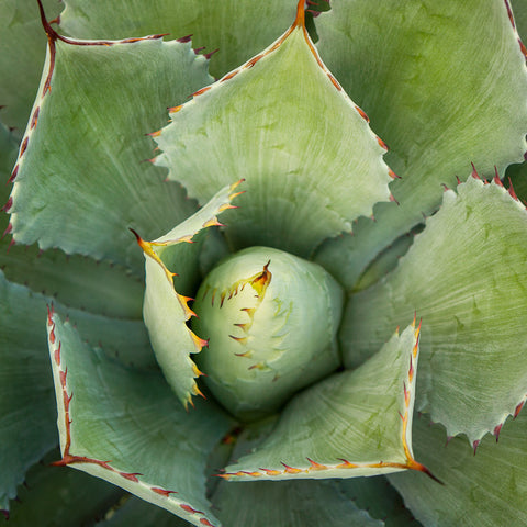 Abstract Agave Fine Art Photography - april bern photography