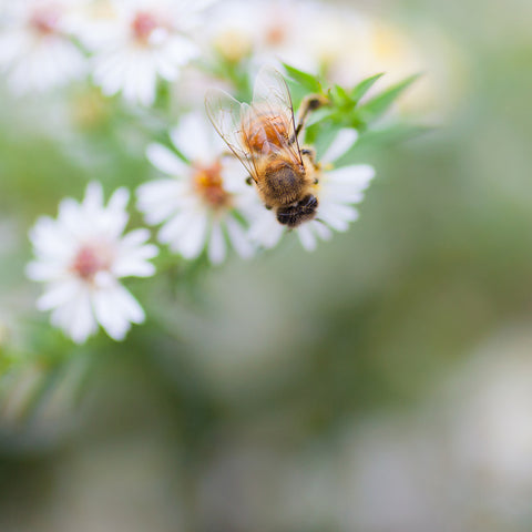 Honey Bee Fine Art Print, Summer Garden Photography