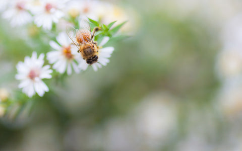 Honey Bee Fine Art Print, Summer Garden Photography - april bern photography