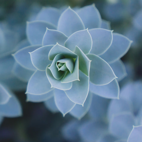 Blue Succulent Photo Print - Succulent Fine Art Print