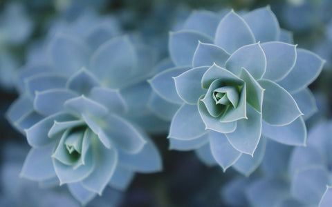 Blue Succulent Photo Print - Succulent Fine Art Print - april bern photography