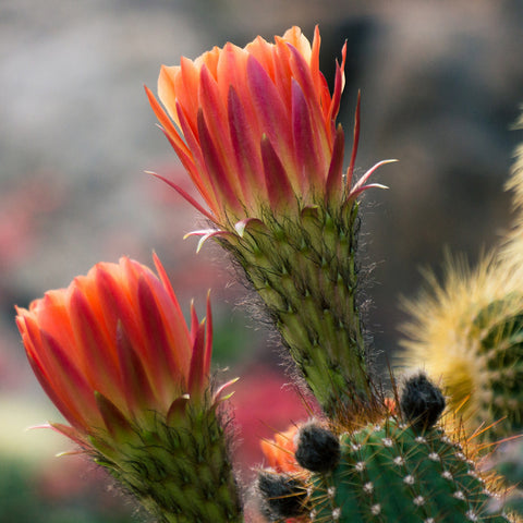 Flowering Cactus Photo, Cactus Photography