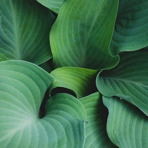 Hosta Leaves Gallery Wrap Canvas, Ready to Hang Canvas Wall Art - april bern photography