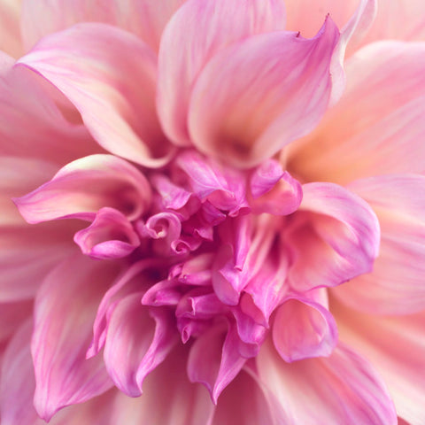 Flower Photography, Fine Art Photography, Dahlia Photo, Botanical Photography