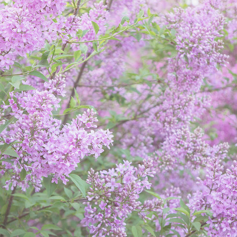 Dreamy Lilac Fine Art Photography