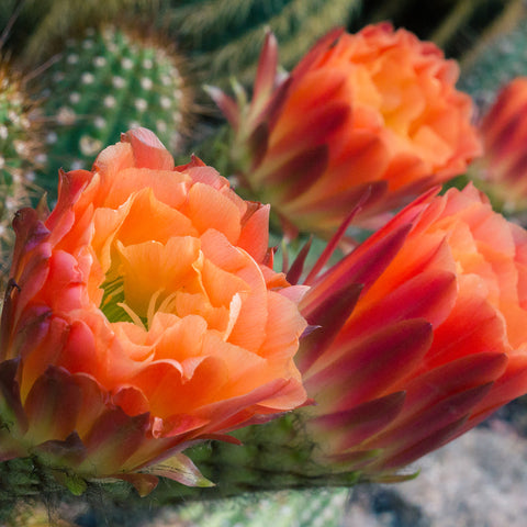 Flowering Cactus Fine Art Photo Print