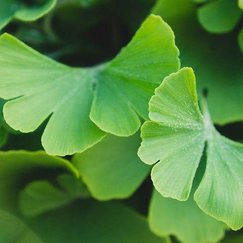 Ginko Leaves Botanical Art