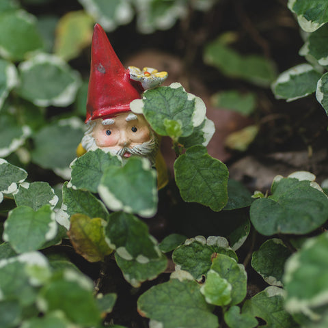 Garden Gnome Fine Art Print - Hide and Seek