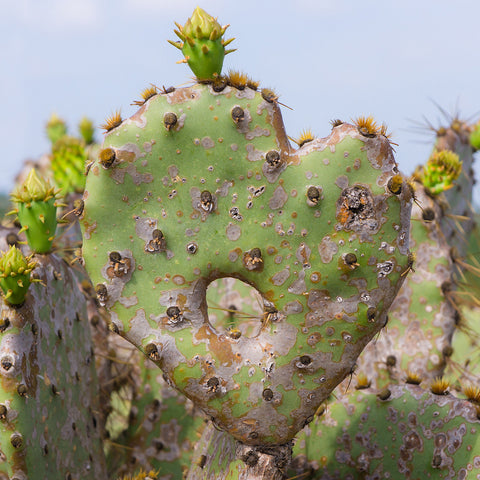 Cactus Heart Fine Art Print, Southwesten Desert Photo
