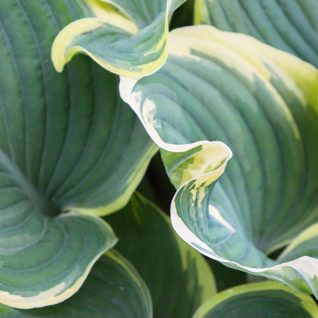 Hosta Leaves Fine Art Photography, Abstract Leaf Photo - april bern photography