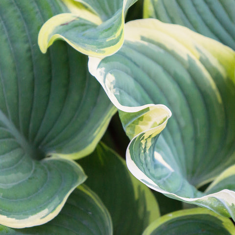 Hosta Leaves Fine Art Photography, Abstract Leaf Photo