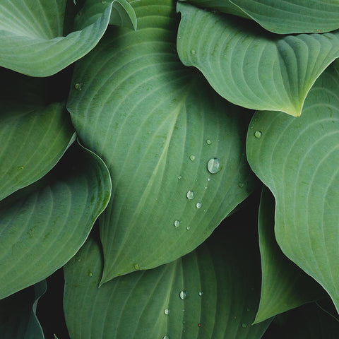 Abstact Hosta Leaves Wall Art- Green Home Decor