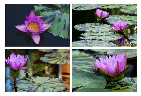 Waterlily Garden -  Set of 4 Waterlily Art Prints - april bern photography