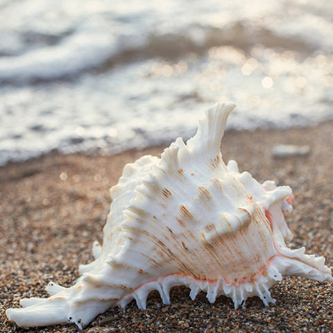 Shell Fine Art Print - Beach Home Decor - april bern photography