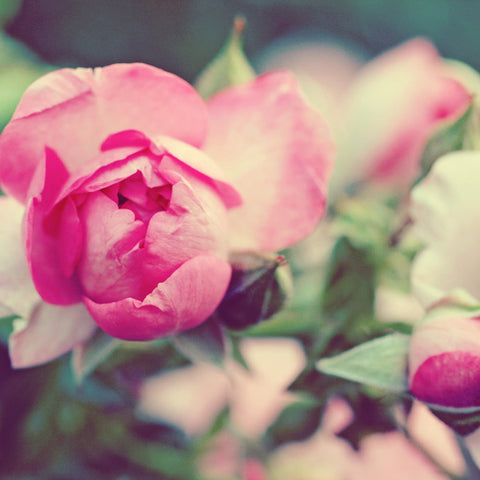 Shabby Chic Rose Fine Art Photography - april bern photography