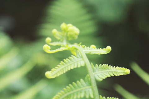 Unfurl 2- Spring Fern Nature Photography - april bern photography