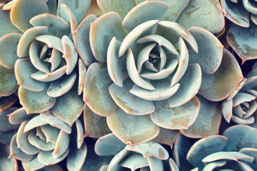 Ready To Hang Succulent Gallery Wrapped Canvas Succulent Wall Decor April Bern Art Photography
