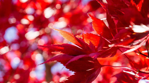 Fiery Autumn Leaves- Fine Art Nature Photography - april bern photography