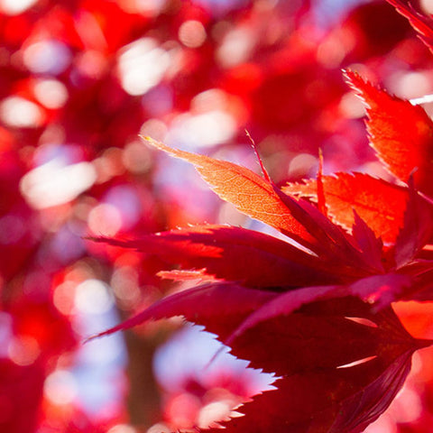 Fiery Autumn Leaves- Fine Art Nature Photography