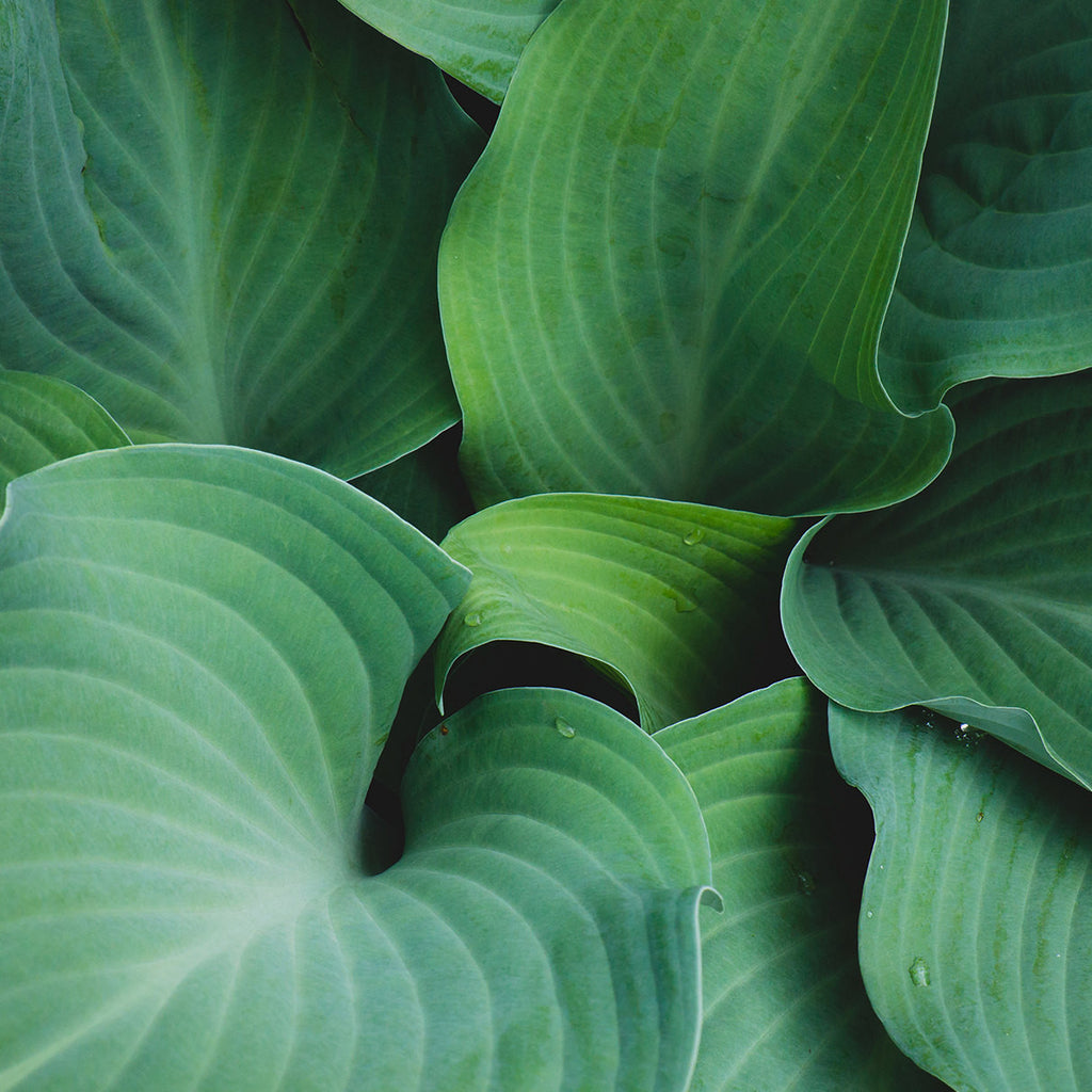Hosta Leaves Fine Art Print, Green Wall Art, Hosta Photograph - april bern photography