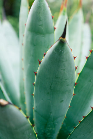 Ready to Hang Agave Gallery Wrapped Canvas- Set of 3 - april bern photography