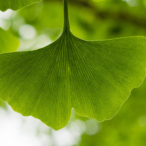 Ginkgo Tree Photograph, Ginkgo Leaf Photo - april bern photography