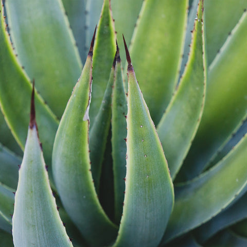 Agave Photo - Desert Art Print