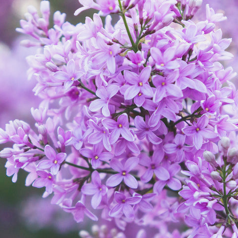 Lilac Fine Art Print - april bern photography